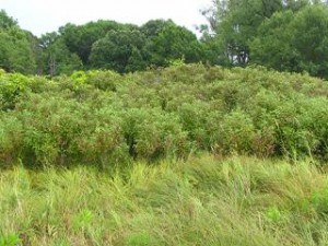 Much of Curtis Prairie's edge comprises tall trees, especially on the south side. The trees cast dense shade onto the southern part of the prairie creating a cooler, damper environment more hospitable to woody species as shown here.