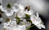 Andrena bee on pear blossoms (Photo: Susan Day/UW–Madison Arboretum)