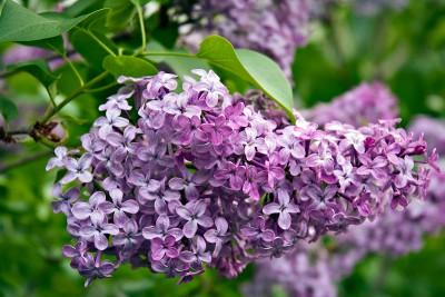 Lilacs blooming in Longenecker Horticultural Gardens