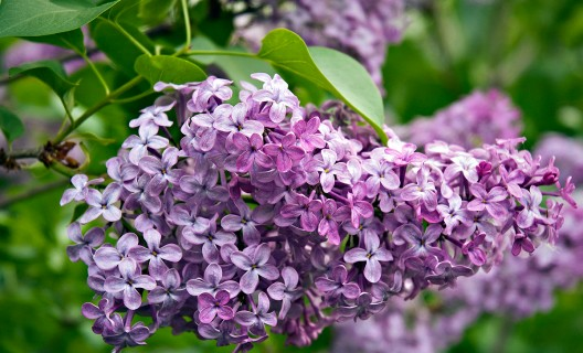 Lilac in Longenecker Horticultural Gardens (Photo: Molly Fifield Murray/UW–Madison Arboretum)