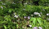 Woodland phlox in Gallistel Woods (Photo: Susan Day/UW–Madison Arboretum)