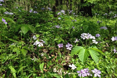 Spr bloom_woods-phlox_8581SD_album