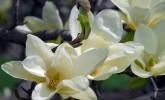 Magnolia in Longenecker Horticultural Gardens (Photo: Molly Fifield Murray/UW–Madison Arboretum)
