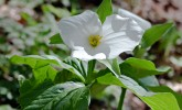 White trillium in Wingra Woods (Photo: Molly Fifield Murray/UW–Madison Arboretum)