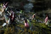 Skunk cabbage in Wingra Woods