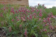Prairie smoke in front of the Visitor Center