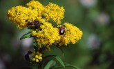 Common eastern bumble bees (Bombus impatiens) on goldenrod (Photo: Susan Carpenter/UW–Madison Arboretum)