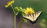 Swallowtail on silphium (Photo: Molly Fifield Murray/UW–Madison Arboretum)