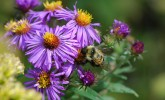 Rusty-patched bumble bee (Bombus affinis) on New England aster (Photo: Susan Carpenter/UW–Madison Arboretum)
