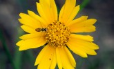 Syrphid fly on coreopsis (Photo: Molly Fifleld Murray/UW–Madison Arboretum)