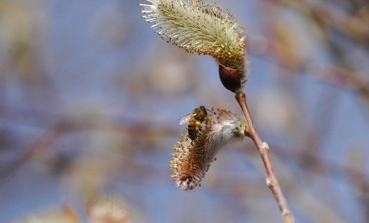 Honey bee on pussy willow catkin (Photo: Susan Carpenter/UW–Madison Arboretum)