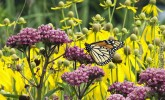 Monarch on red milkweed (Photo: Molly Fifield Murray/UW–Madison Arboretum)