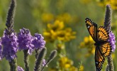Viceroy on prairie clover (Photo: Molly Fifield Murray/UW–Madison Arboretum)