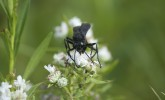 Great black wasp on mountain mint (Photo: Susan Day/UW–Madison Arboretum)