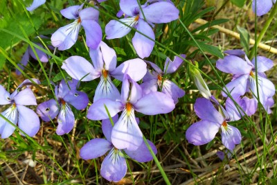 Bird's-foot violets (Photo: Lisa Kohlmann)