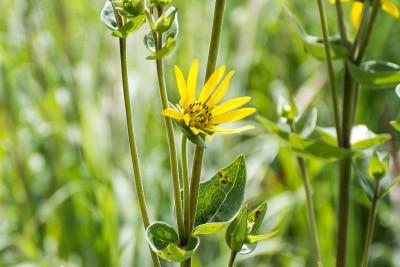 Rosinweed (Silphium integrifolium)