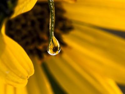 Black-eyed Dew (Photo © Marcia Getto)
