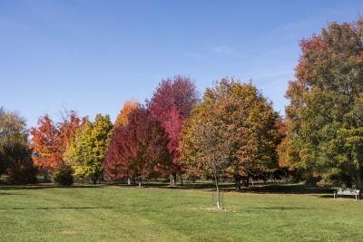 Maples in Longenecker Horticultural Gardens