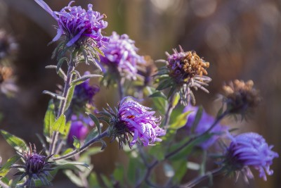 Dewy New England asters