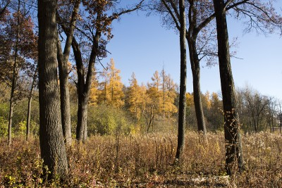 Tamarack trees turned gold