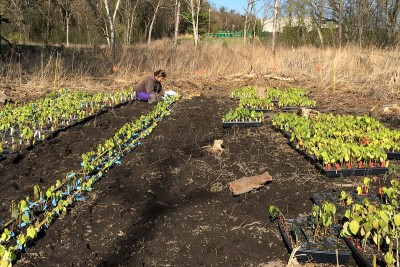 Rachel Toczydlowski planting more than 2,000 jewelweed seedlings in the Arboretum plot, April 2015.