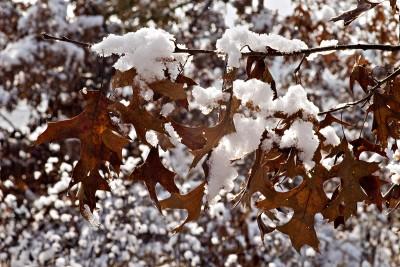 Marcescent oak leaves