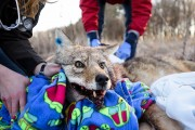 During a winter morning on Dec. 15, 2015, a still-groggy, 36-pound adult coyote opens his eyes after being caught, sedated and tested at Curtis Prairie at the University of Wisconsin-Madison Arboretum as part of a research effort to study the behavior of growing fox and coyote populations in the city of Madison. (Photo by Jeff Miller/UW-Madison)