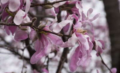 Magnolia tree in bloom, Longenecker Horticultural Gardens