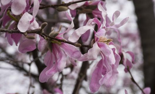 Magnolia tree in bloom, Longenecker Horticultural Gardens