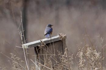 Eastern bluebird on bluebird nesting box