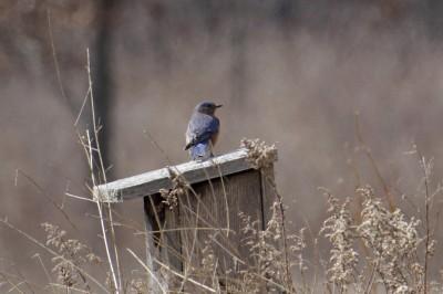 Eastern bluebird on bluebird house