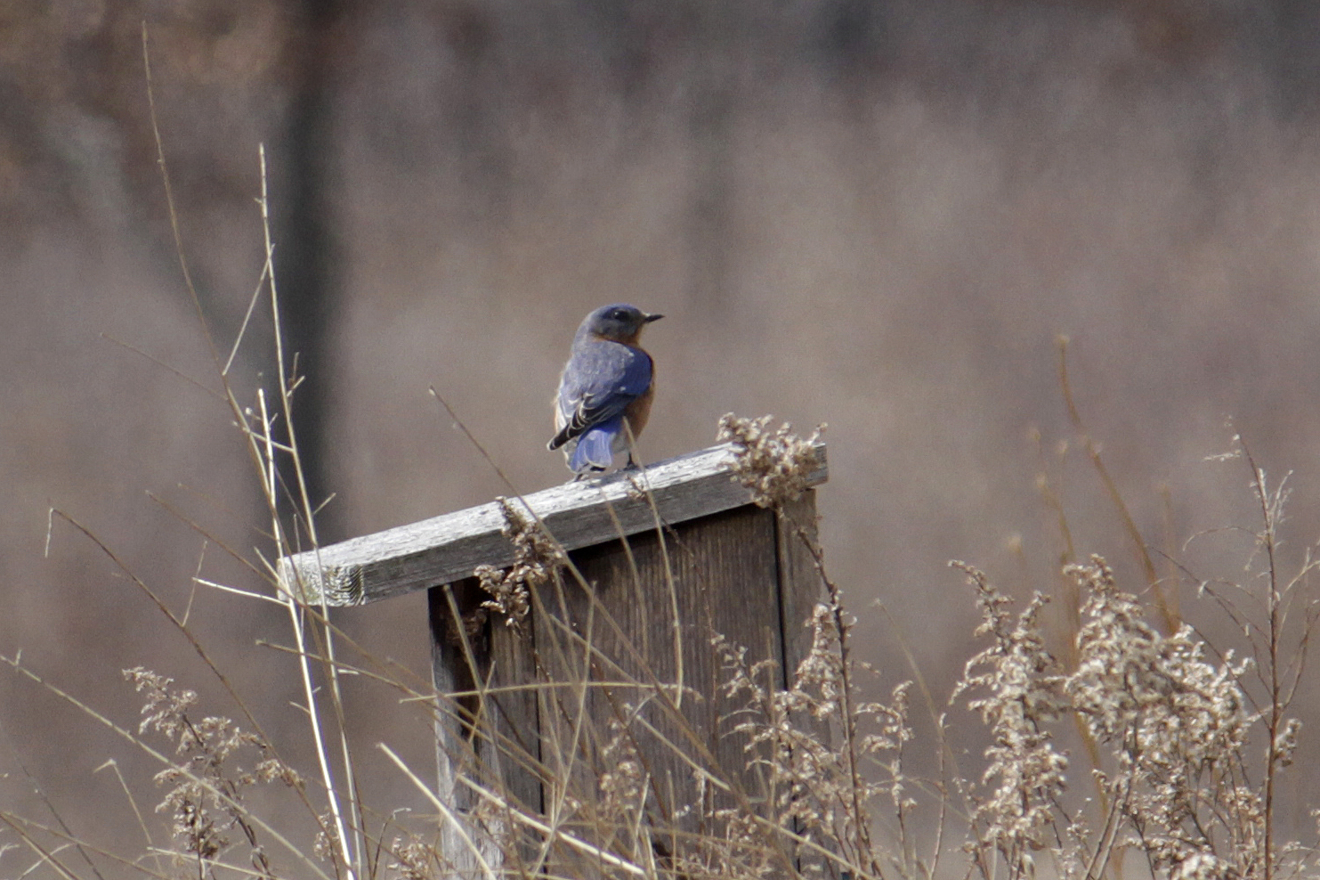 Eastern bluebird on bluebird nesting box
