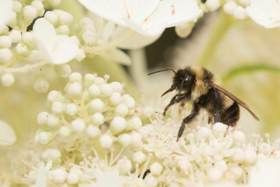 Rusty-patched bumble bee. Photo © Clay Bolt