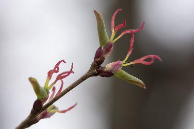 Katsura female flower