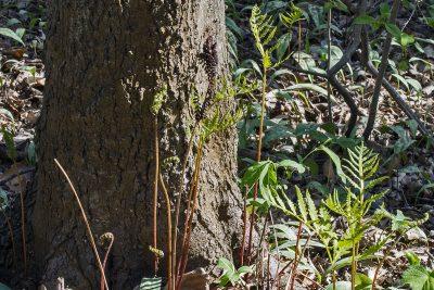 Sensitive fern