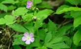 Wild geranium in Gallistel Woods