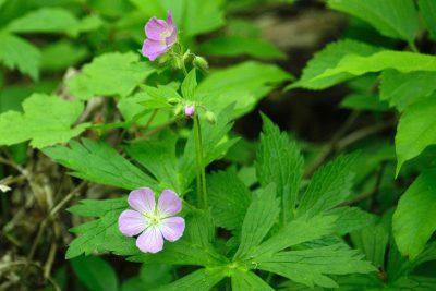 Wild geranium in Gallistel Woods