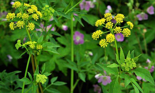 Golden alexander and wild geranium in bloom