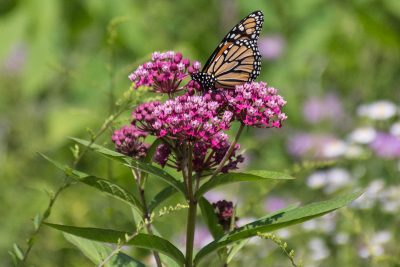 Monarch on marsh milkweed