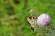 Eastern tiger swallowtail butterfly (female) on prairie thistle