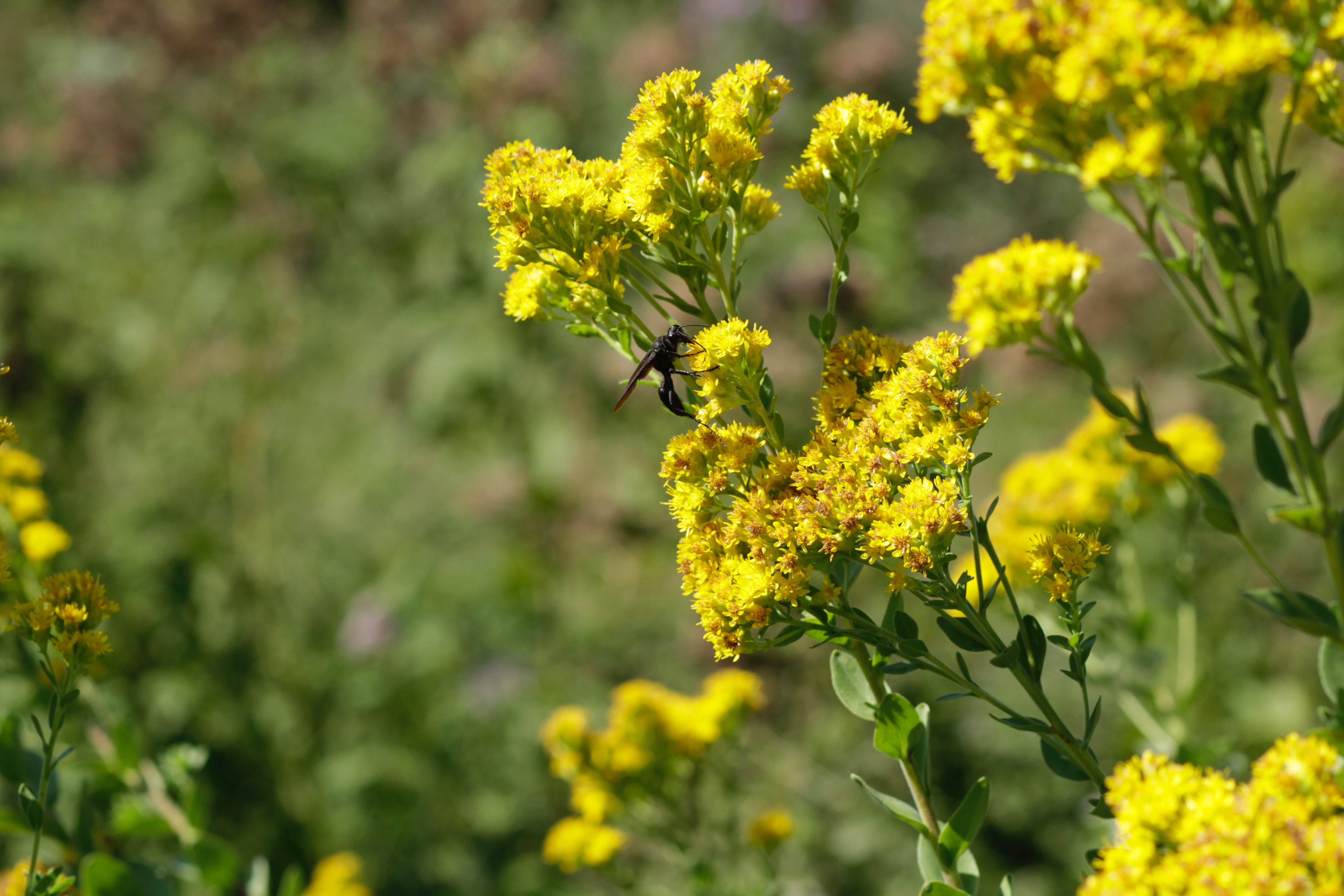 Stiff goldenrod, with a visiting great black wasp