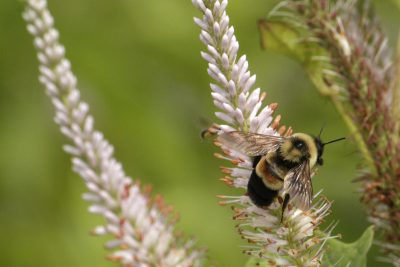 A rusty-patched bumblebee on Culver's root in the UW–Madison Arboretum. The Arboretum's prairies, woodlands and gardens are a paradise for the rusty-patched and at least a dozen other bumblebee species. PHOTO: SUSAN DAY/UW–MADISON ARBORETUM