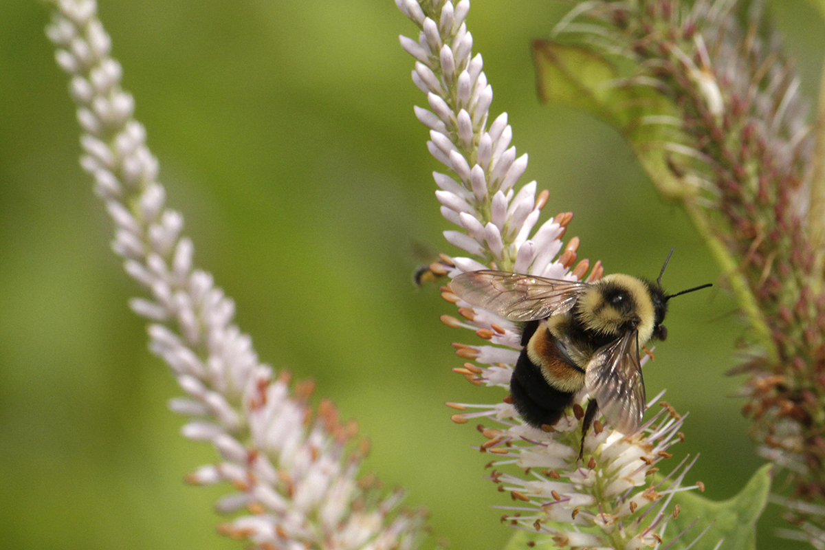 A rusty-patched bumblebee on Culver's root in the UW–Madison Arboretum. The Arboretum's insecticide-free prairies, woodlands and gardens are a paradise for the rusty-patched and at least a dozen other bumblebee species. PHOTO: SUSAN DAY/UW–MADISON ARBORETUM