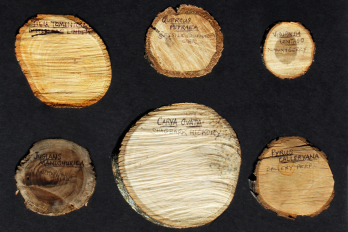 Samples from pruned trees