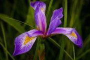 Iris (photo: Don Julie)