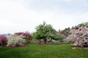 Crabapples blooming in May in Longenecker Horticultural Gardens