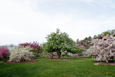 Crabapples blooming in May in Longenecker Horticultural Gardens