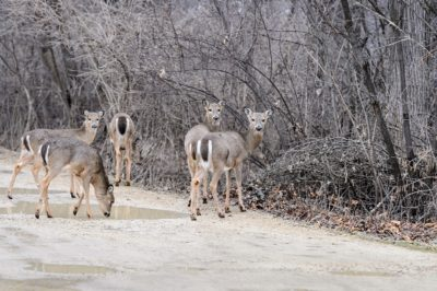 A group of grazing white-tail deer cross an Arboretum trail and head into the woods. (Photo: Jeff Miller/UW-Madison)