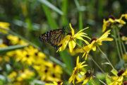 Monarch on sweet black-eyed Susan (Photo: Susan Carpenter)