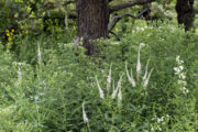 Savanna plants blooming in the Native Plant Garden